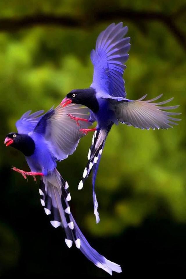 Taiwan Blue Magpie (Urocissa caerulea), also called the Taiwan Magpie or Formosan Blue Magpie