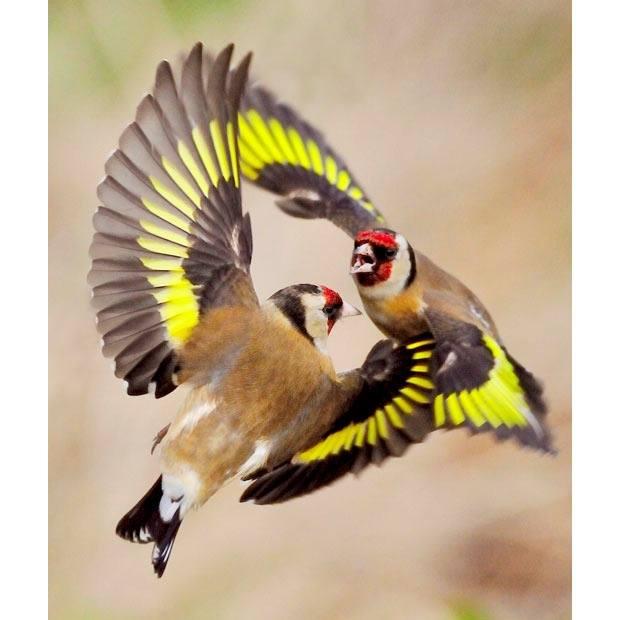 European Goldfinch or Goldfinch (Carduelis carduelis)
