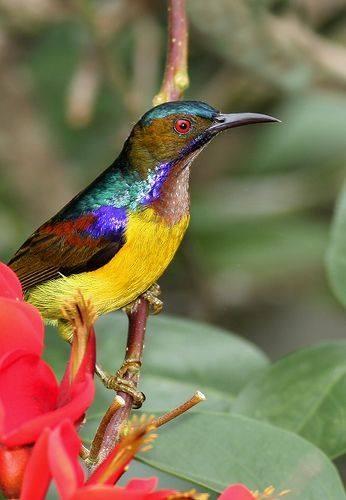 Brown-throated Sunbird (Anthreptes malacensis)
