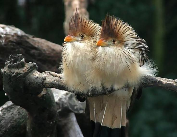 season and cuckoo bird thrill