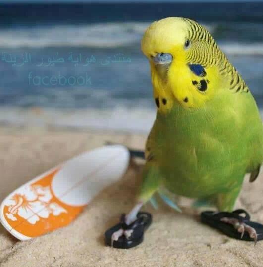 Beach Bum Parakeet (Parakeetus Surfist)