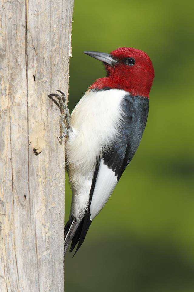 "Red-headed Woodpecker (Melanerpes erythrocephalus) AKA ""Woody Woodpecker"""