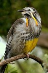 Yellow Wattlebird (Anthochaera paradoxa)