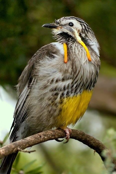 Yellow Wattlebird (Anthochaera paradoxa)