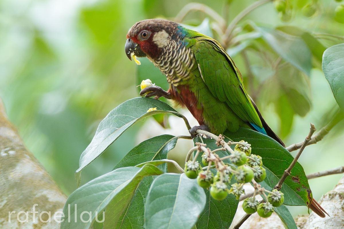 Azuero Parakeet (Pyrrhura picts eisenmanni)