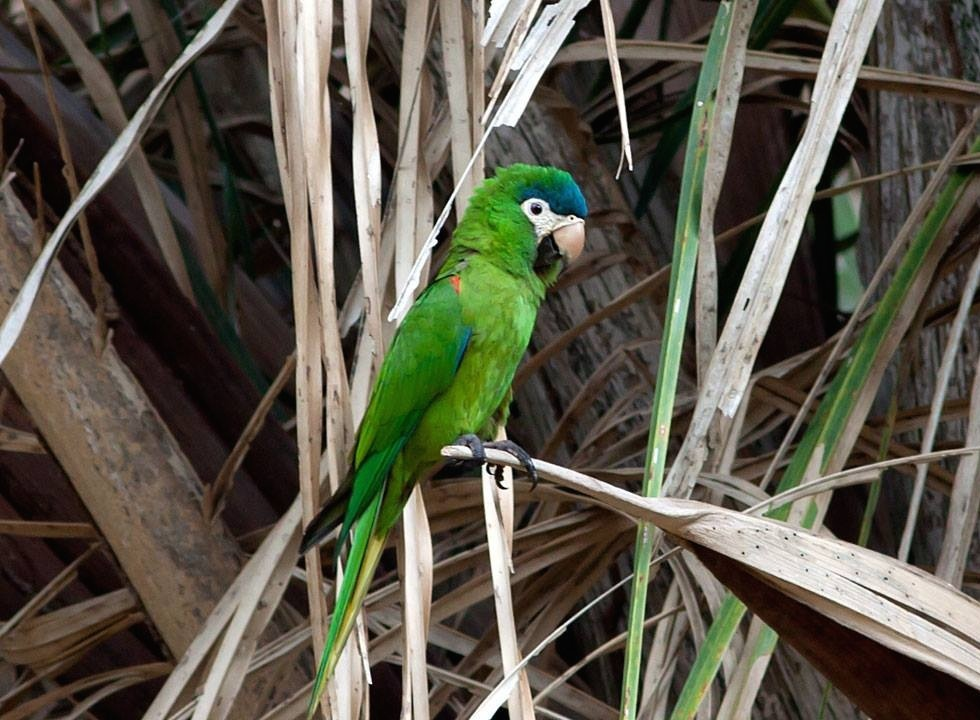 Red-shouldered Macaw (Diopsittaca nobilis)