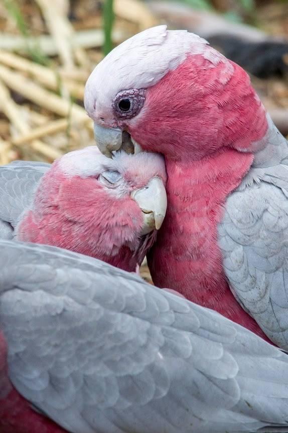 Galah /ɡəˈlɑː/ or Rose-breasted Cockatoo, (Eolophus roseicapilla)Galah /ɡəˈlɑː/ or Rose-breasted Cockatoo, (Eolophus roseicapilla)