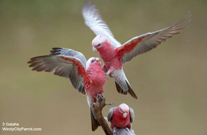 Galah /ɡəˈlɑː/ or Rose-breasted Cockatoo, (Eolophus roseicapilla)