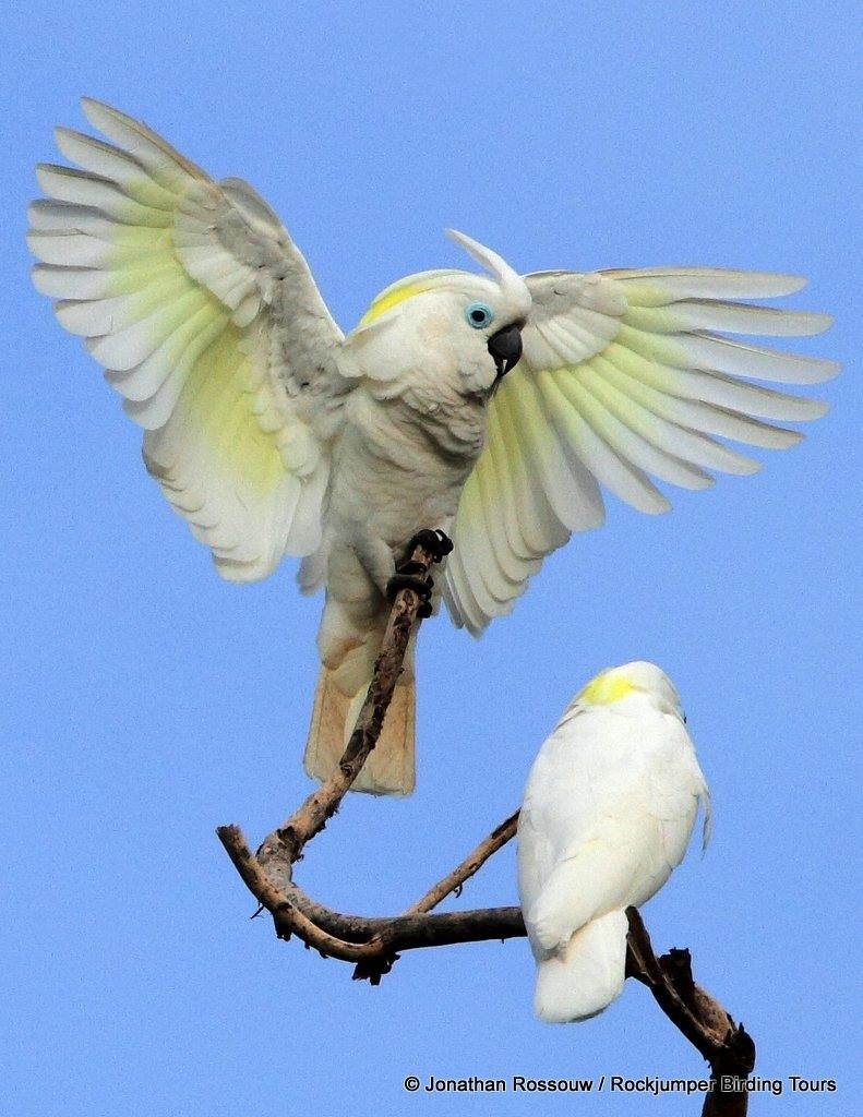 Blue-eyed Cockatoo (Cacatua ophthalmica)