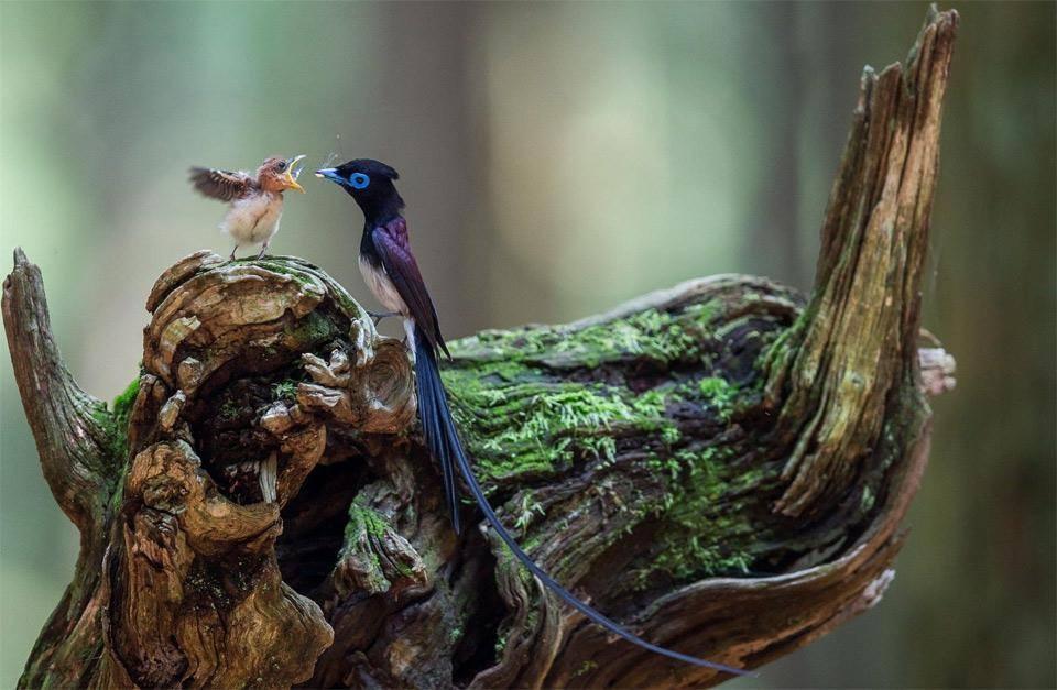 Japanese paradise flycatcher (Terpsiphone atrocaudata)