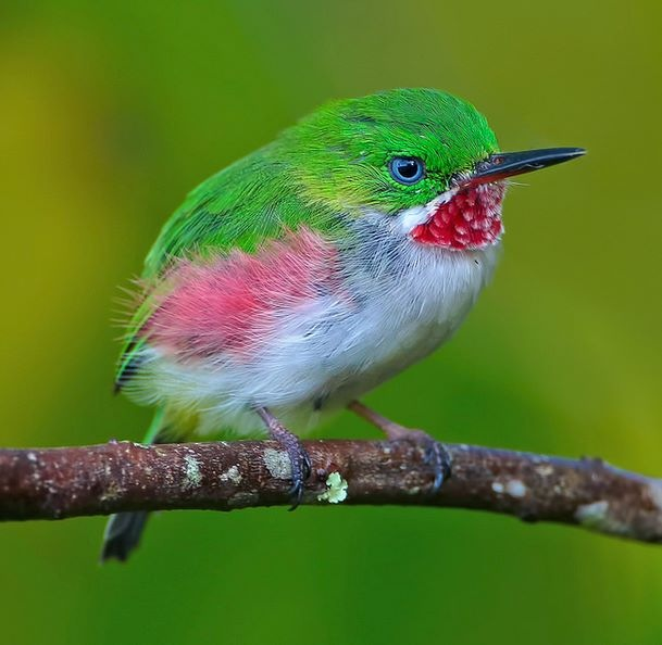 Narrow-billed Tody (Todus angustirostris)
