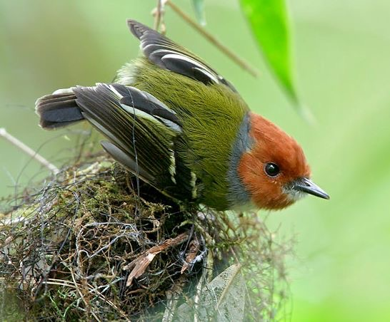 Lulu's tody-flycatcher or Johnson's tody-flycatcher (Poecilotriccus luluae)