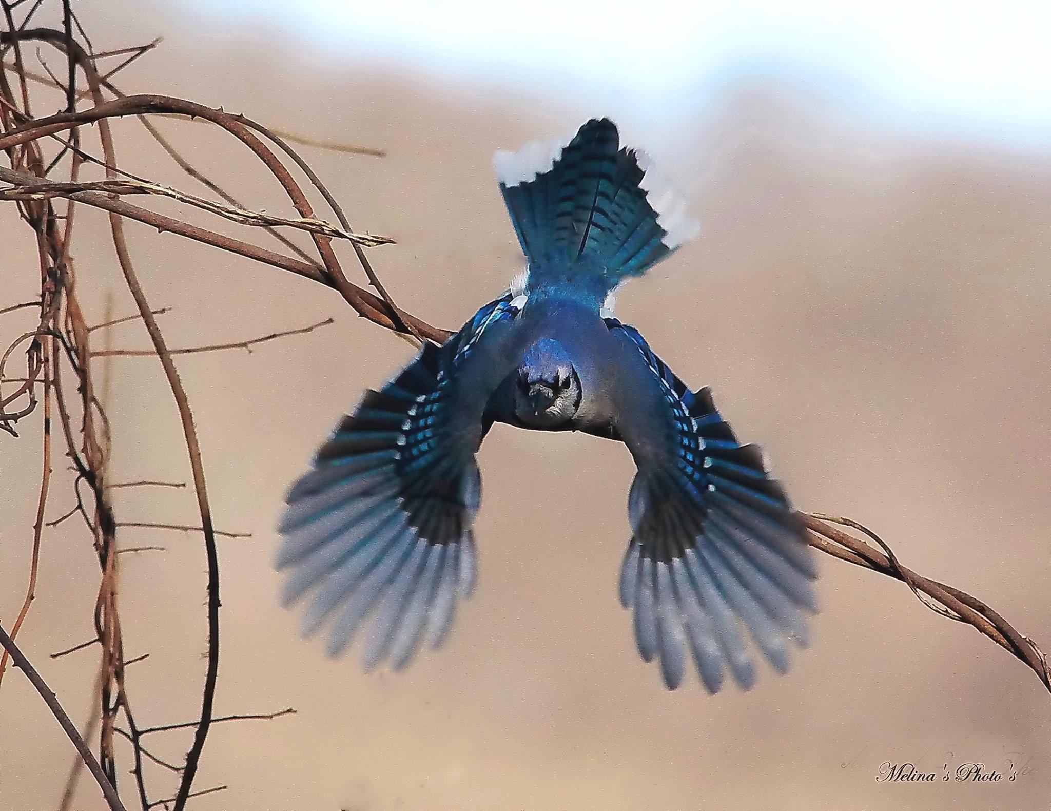 blue jay (Cyanocitta cristata), (Chara Azul), or (Geai Bleu)